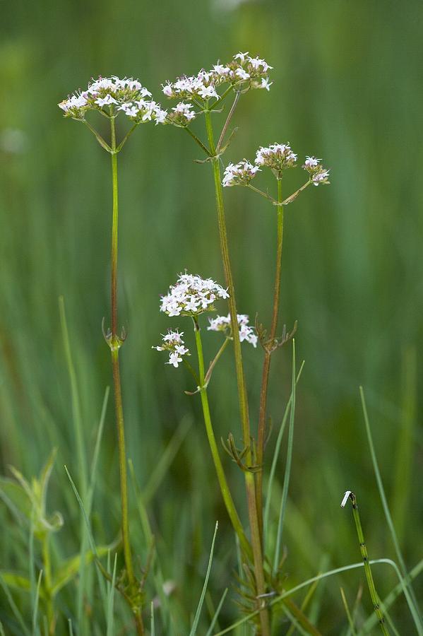 Marsh Valerian (valeriana Dioica) Photograph