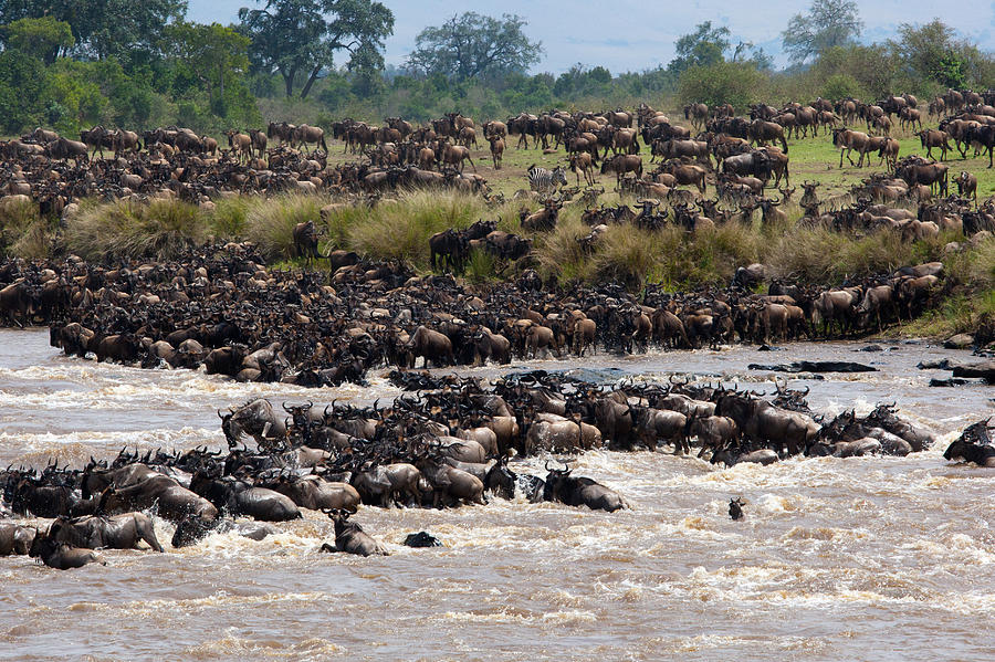Masai Mara The Great Migration Photograph  - Masai Mara The Great Migration Fine Art Print