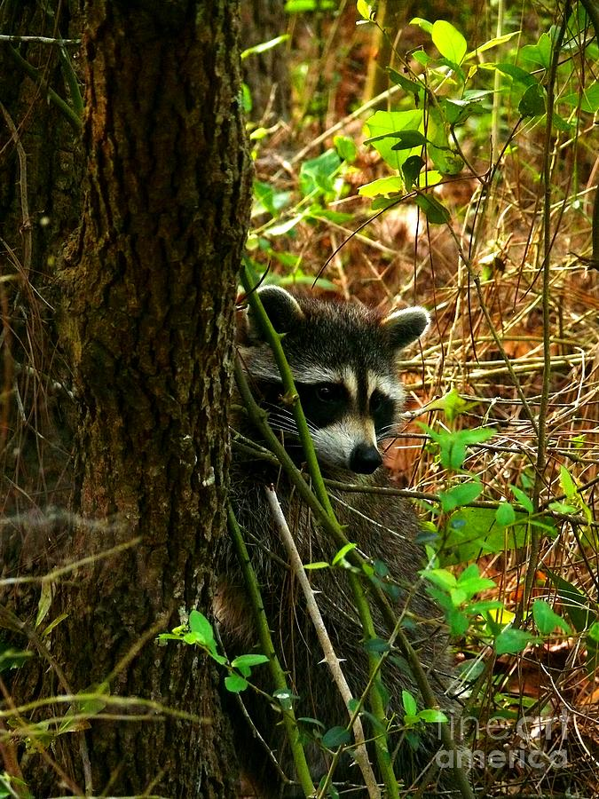 Racoon Photograph - Masked Bandit by Dawn Williamson