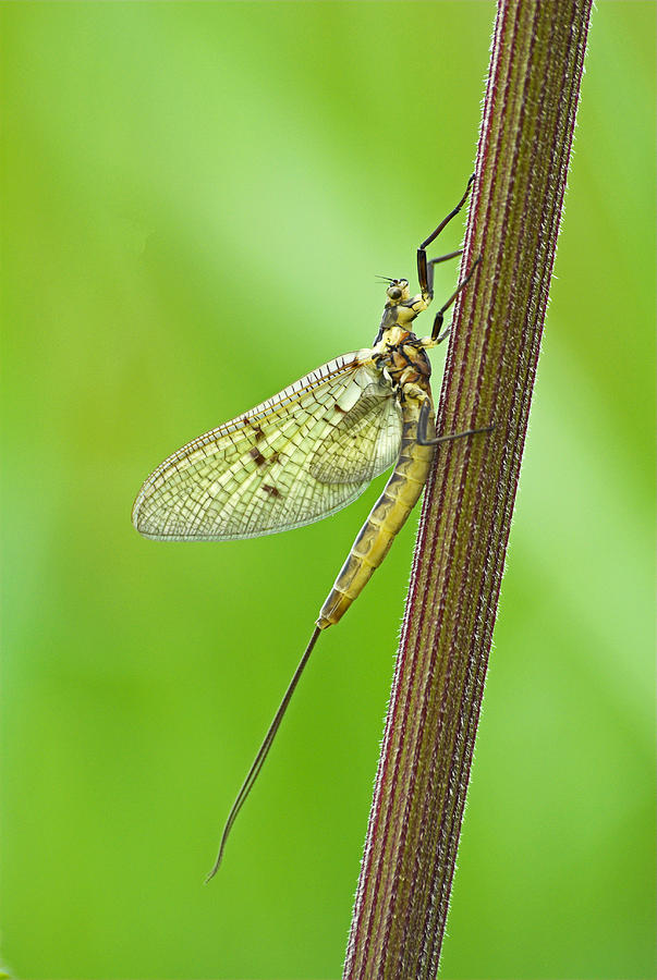 Mayfly Photograph  - Mayfly Fine Art Print