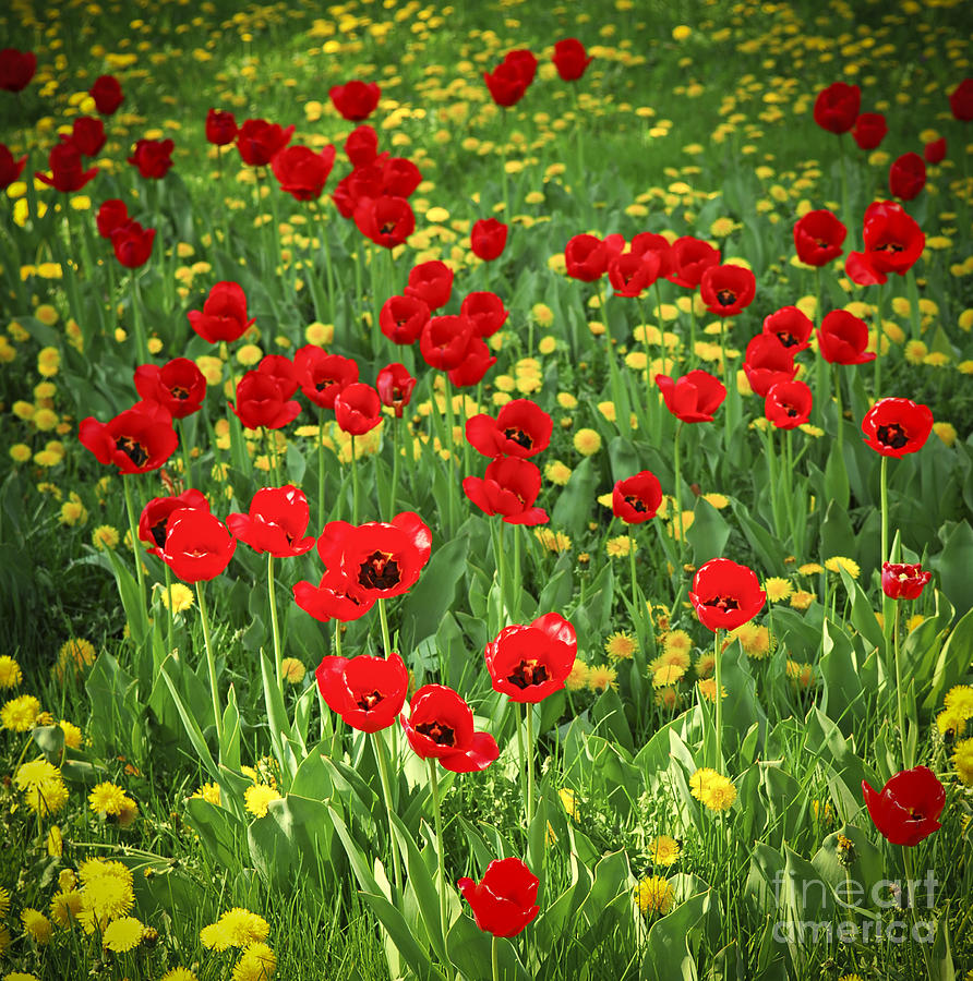 Meadow With Tulips Photograph