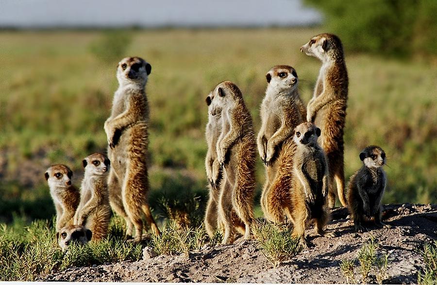 Meerkat Family Photograph Meerkat Pictures To Print