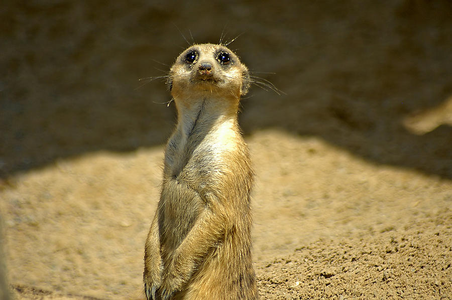 Meerkat Sentry Photograph  - Meerkat Sentry Fine Art Print