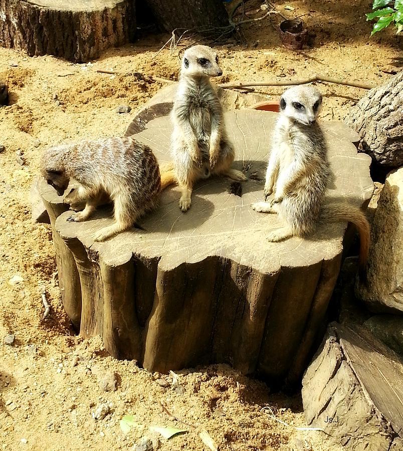 Meerkat Trio Photograph