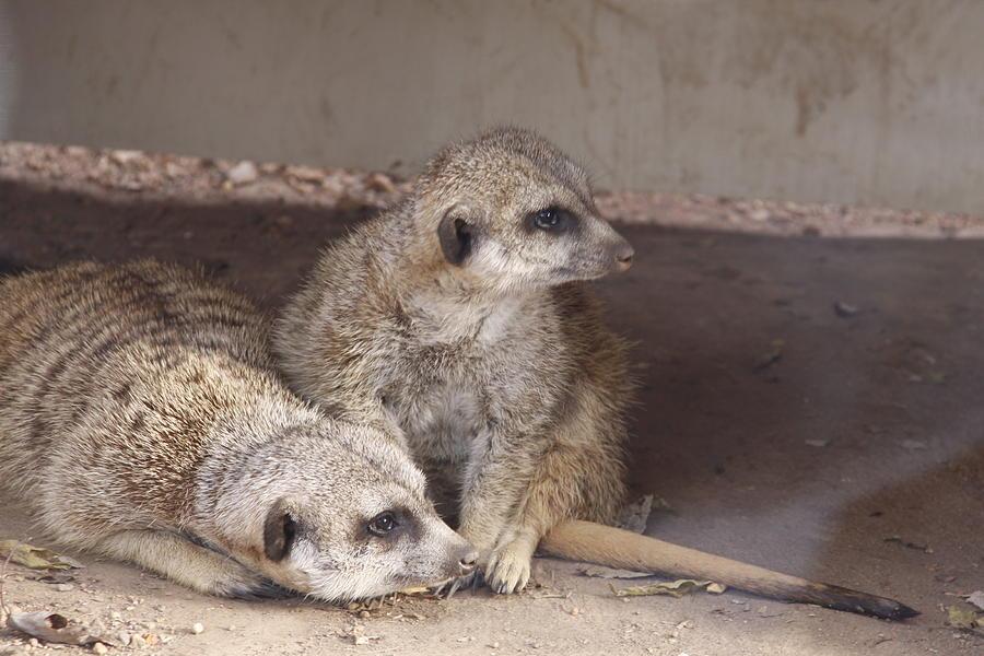 Mammals Photograph - Meerkats by Linda A Waterhouse