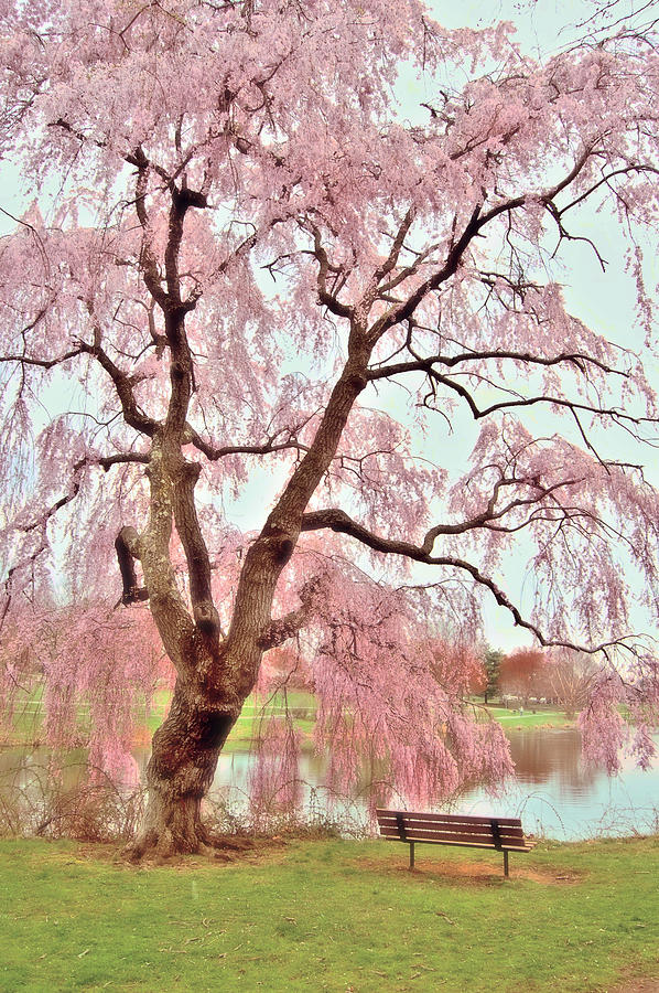 Meet Me Under The Pink Blooms Beside The Pond - Holmdel Park Photograph  - Meet Me Under The Pink Blooms Beside The Pond - Holmdel Park Fine Art Print