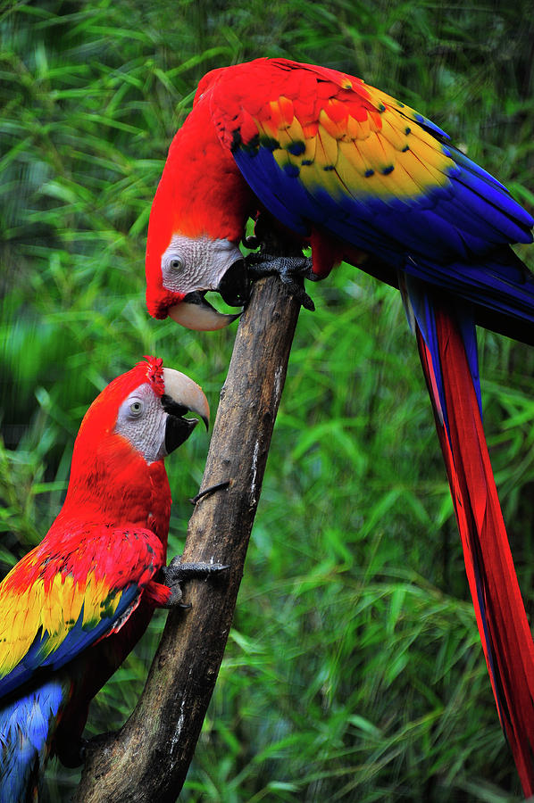 Meeting Of The Macaws  Photograph