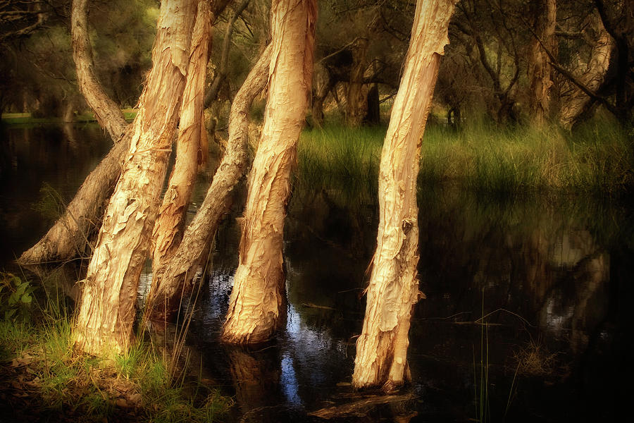 Melaleuca Magic Photograph  - Melaleuca Magic Fine Art Print