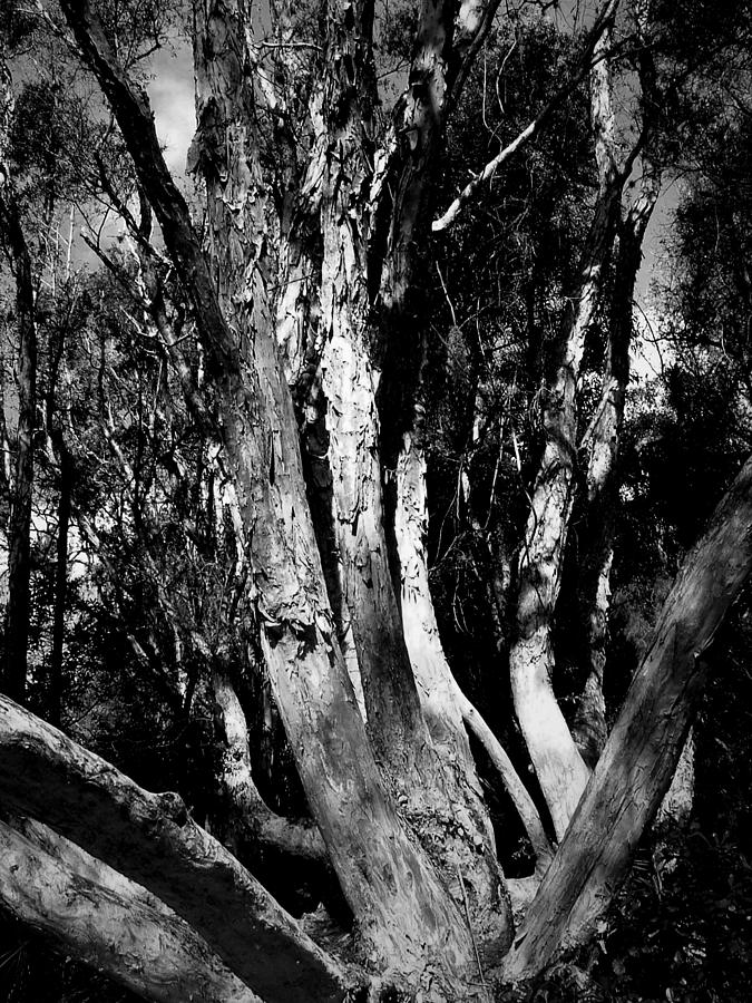 Melaleuca Tree Photograph