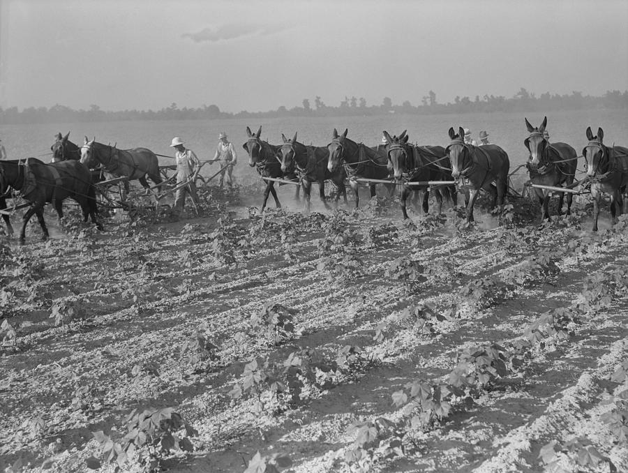 Men And Mules Cultivating Cotton Photograph