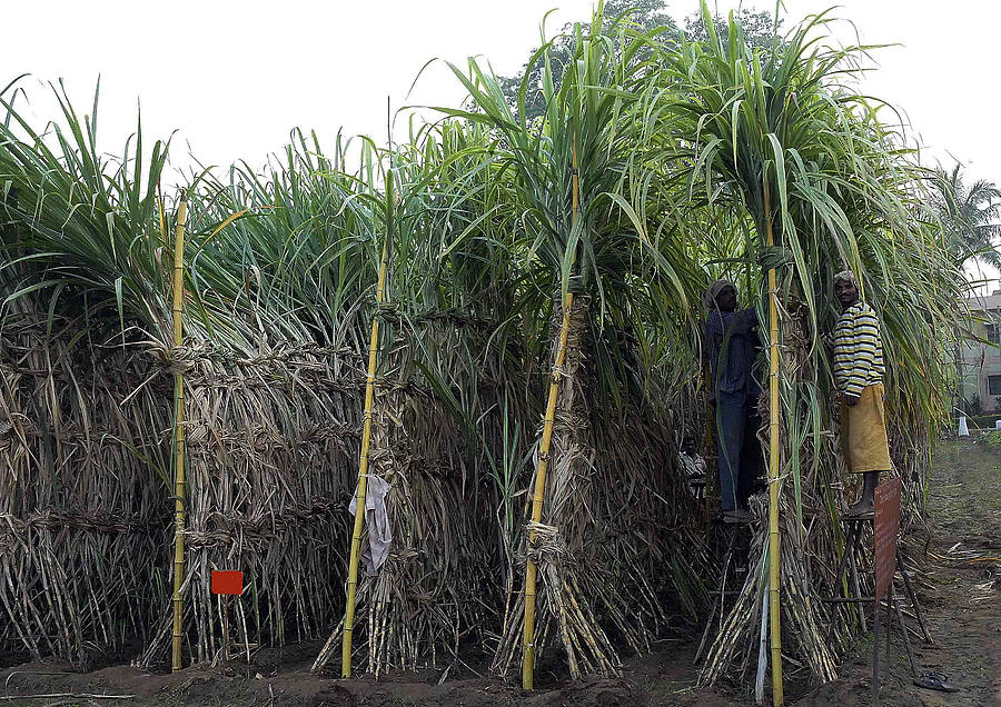 Men Working In Sugercane Crop Photograph  - Men Working In Sugercane Crop Fine Art Print