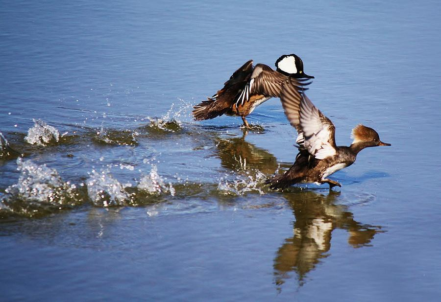 Merganser Race Photograph  - Merganser Race Fine Art Print
