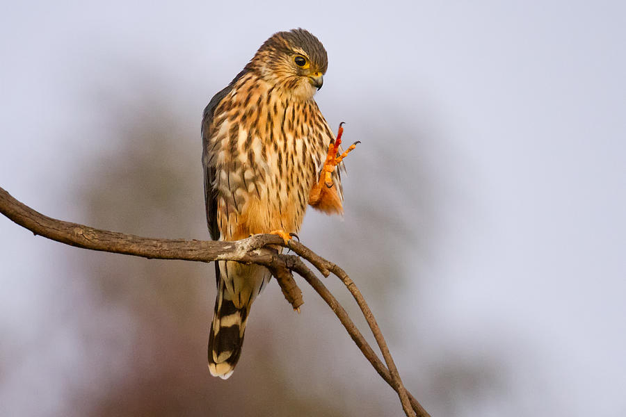 Merlin bird is a photograph by mallardg500 which was uploaded on may