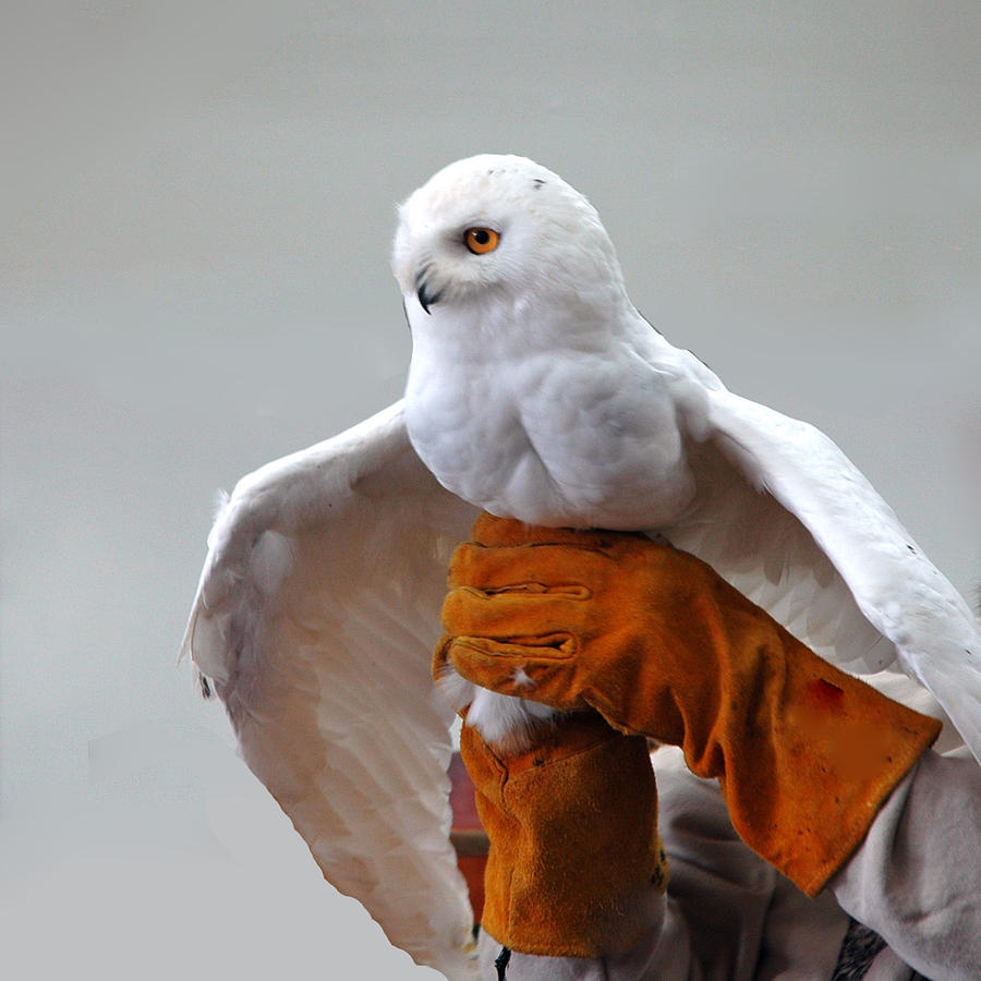 Message Snowy Owl Photograph