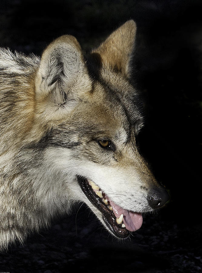 Mexican Grey Wolf 3827 Photograph  - Mexican Grey Wolf 3827 Fine Art Print