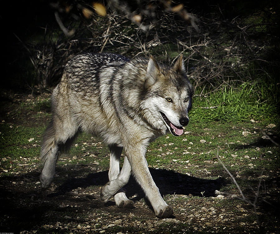 Mexican Grey Wolf 3833 Photograph