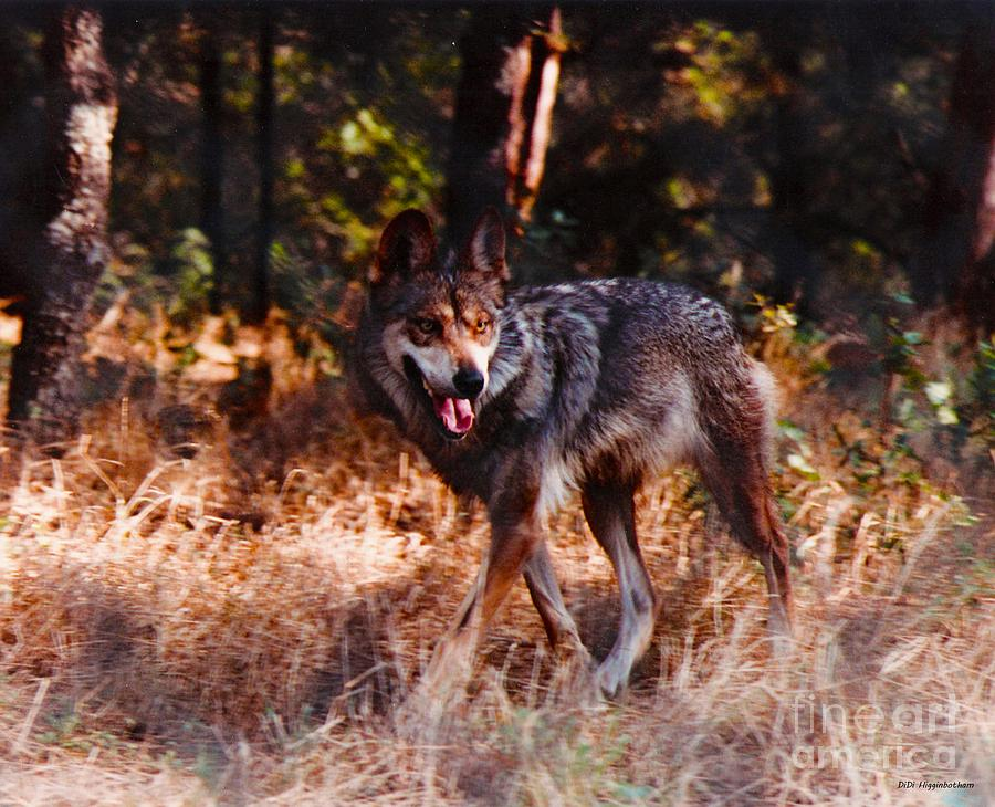 Mexican Red Wolf Photograph
