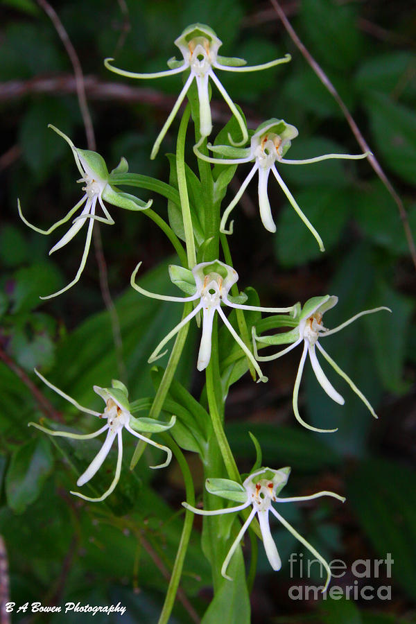 Michaux Orchid Photograph