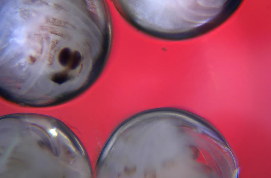 Microscopic Eggs 003 Photograph