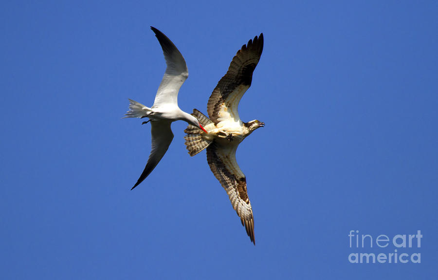 Birds Photograph - Mid-air Attack by Mike  Dawson