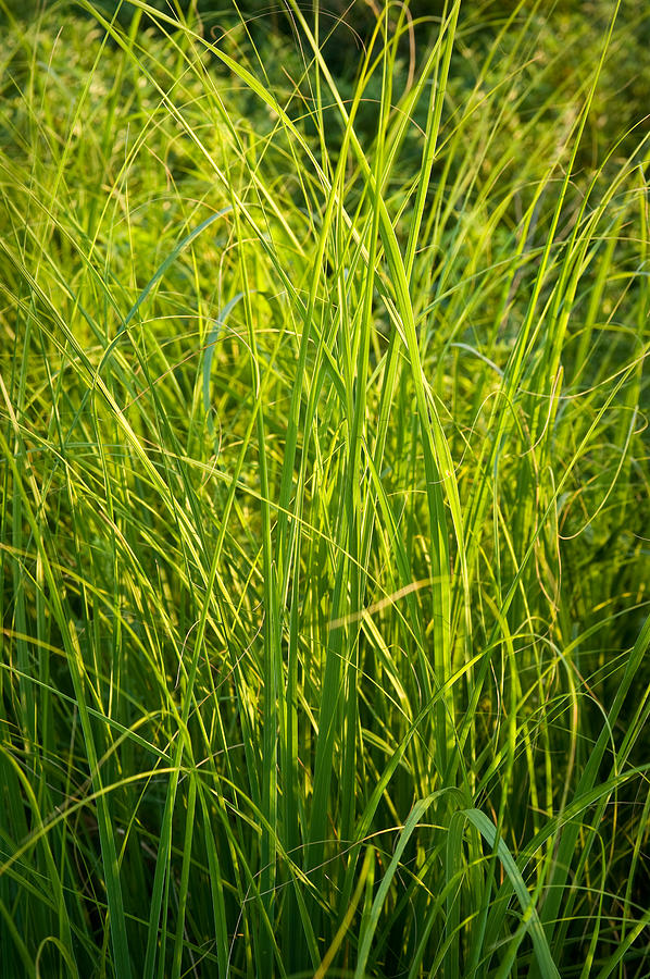 Midwest Prairie Grasses Photograph