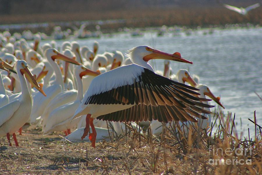 Migrating Pelicans  Photograph
