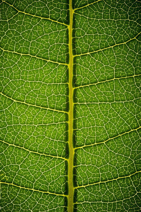 Milkweed Leaf Photograph