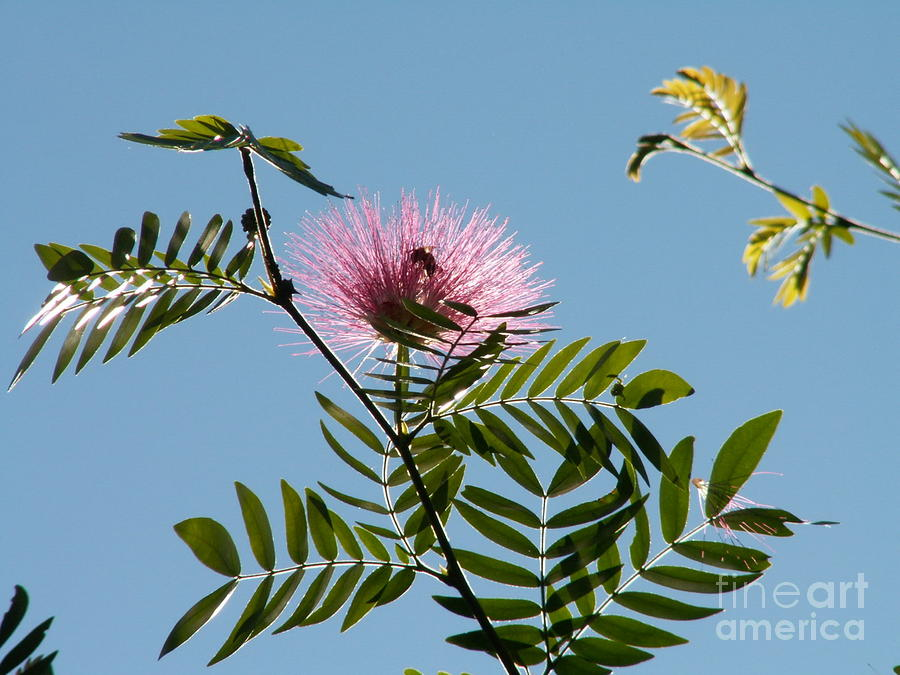 Mimosa Flower  Photograph