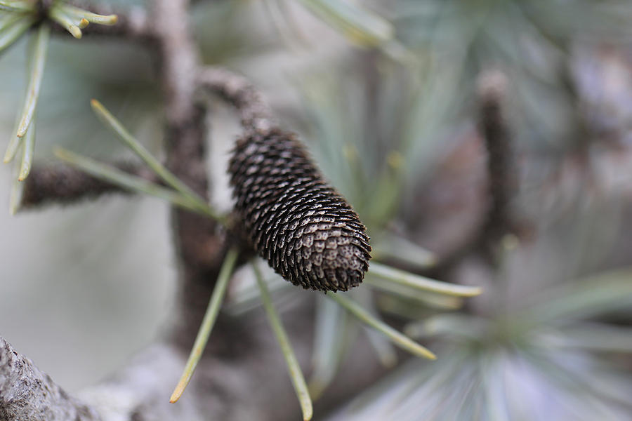 Miniature Pine Cone  Photograph