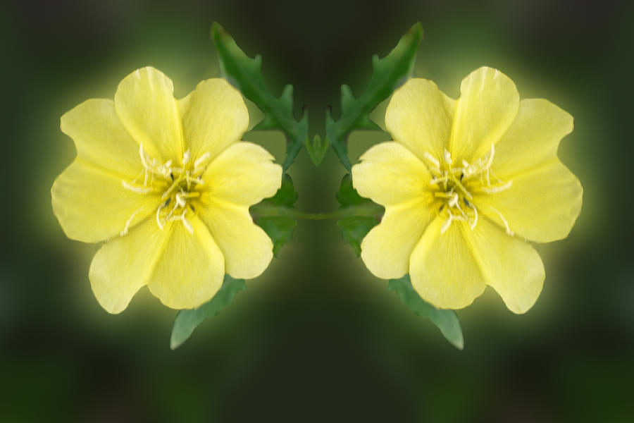 Mirrored Missoruri Primrose Digital Art  - Mirrored Missoruri Primrose Fine Art Print