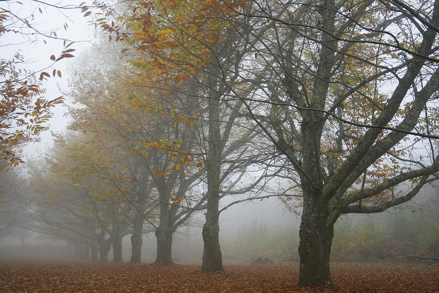 Chestnut Trees Photograph - Misty November by Georgia Fowler