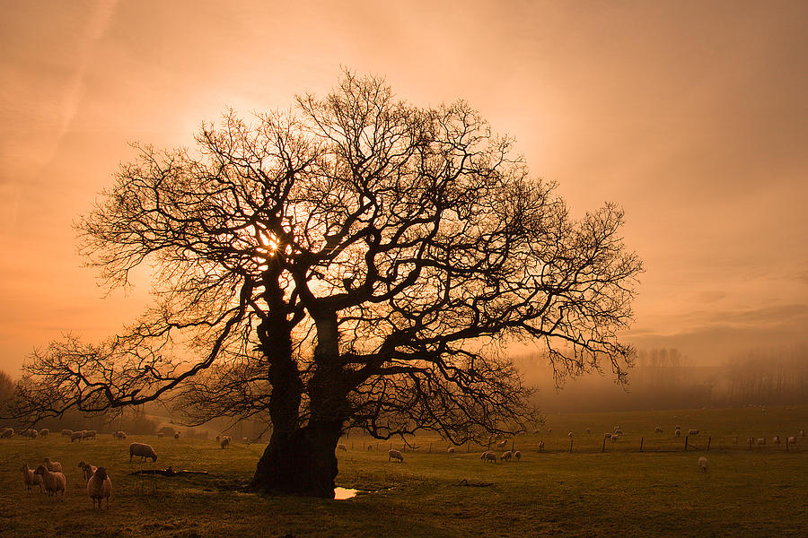 Misty Oak Photograph