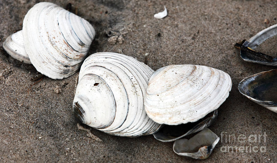 Mixed Shells Photograph  - Mixed Shells Fine Art Print