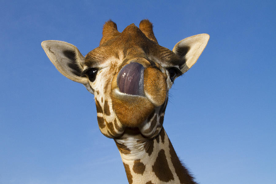 Giraffe Face Return Funny Animal Pictures Home PageFunny Giraffe Tongue