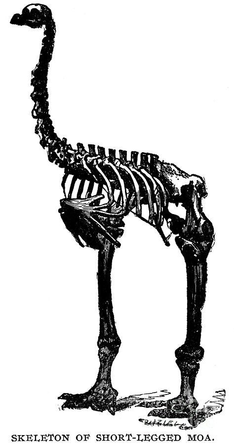 Engraving Photograph - Moa Skeleton by Granger