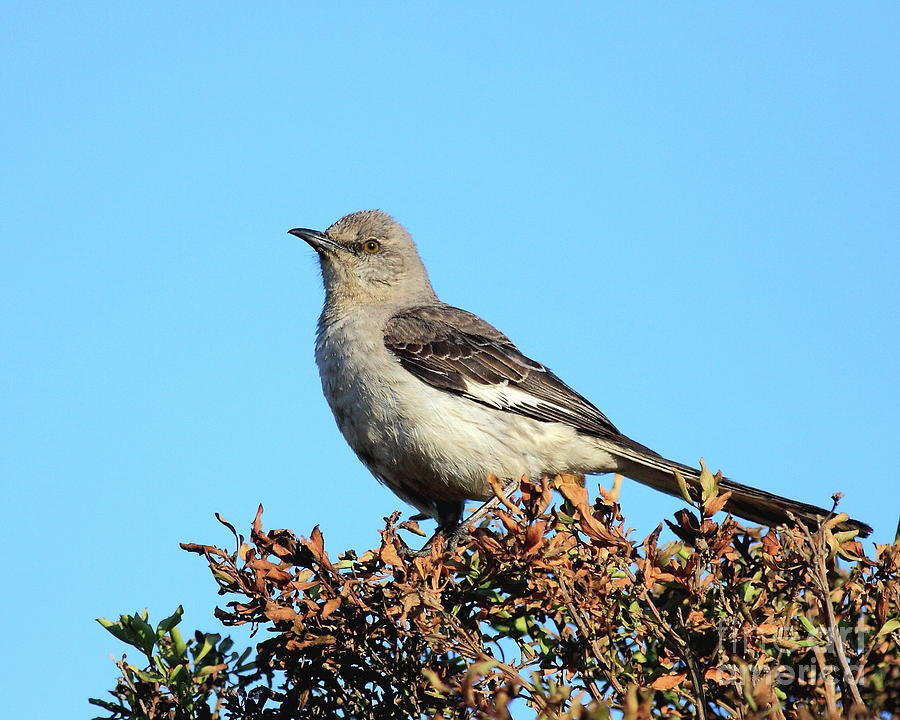 Mockingbird . 7682 Photograph