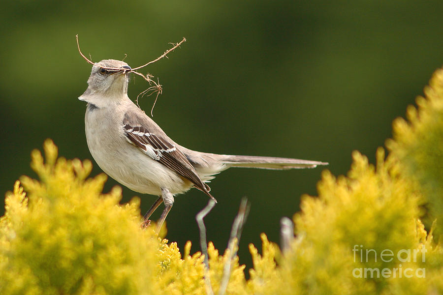 Mockingbird Perched With Nesting Material Photograph