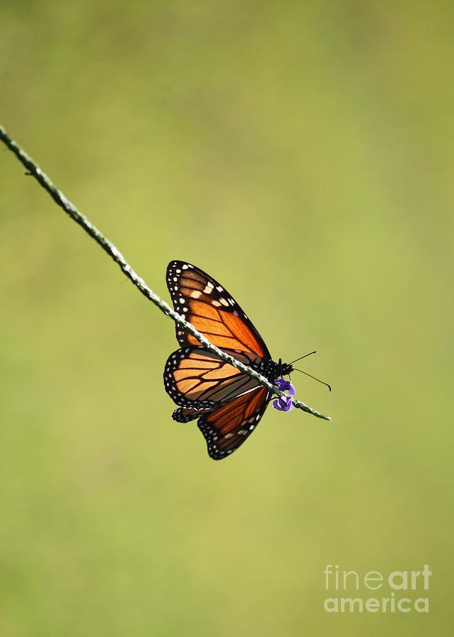 Monarch And Natural Green Canvas Photograph