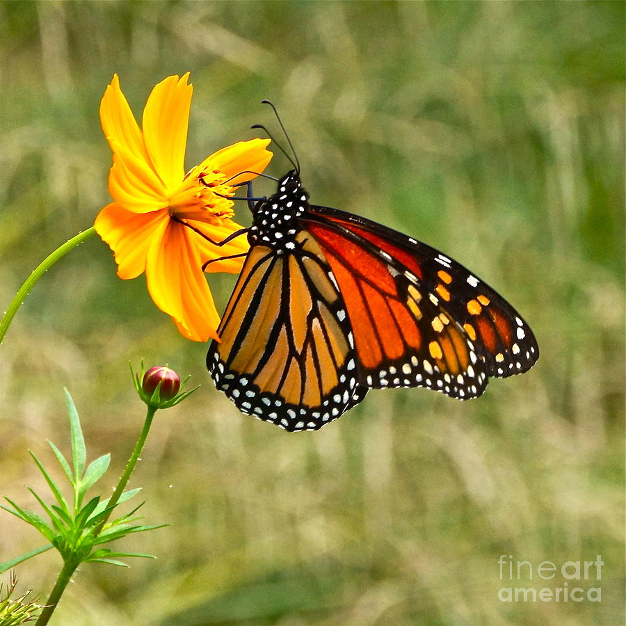 Monarch Butterfly And Yellow Cosmos Photograph