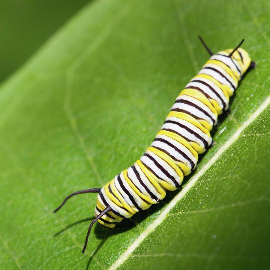 monarch butterfly caterpillar by paul omernik