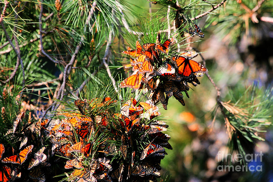 Monarch Butterfly Gathering Photograph  - Monarch Butterfly Gathering Fine Art Print