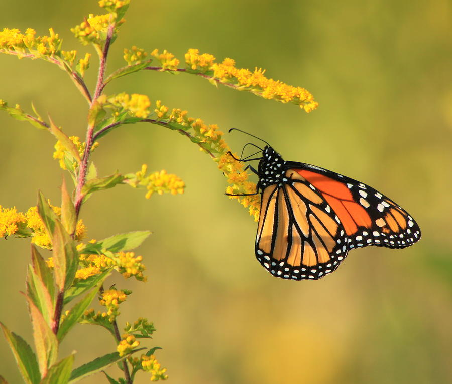 Monarch Butterfly Hanging On Goldenrod Photograph  - Monarch Butterfly Hanging On Goldenrod Fine Art Print