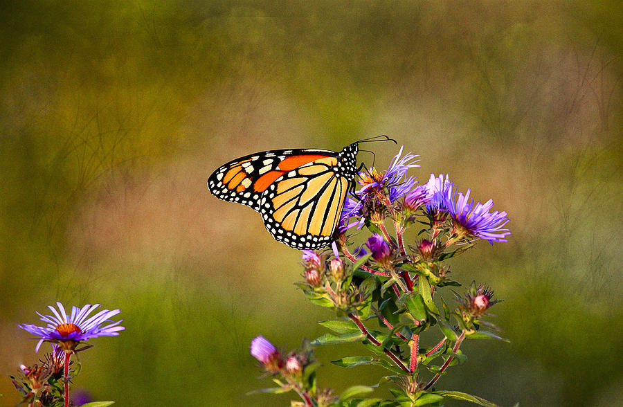Monarch Butterfly In The Afternoon Sun Photograph