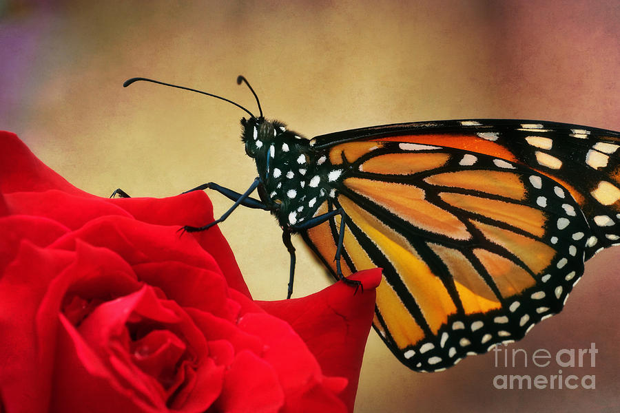 Monarch Butterfly On A Rose Photograph  - Monarch Butterfly On A Rose Fine Art Print