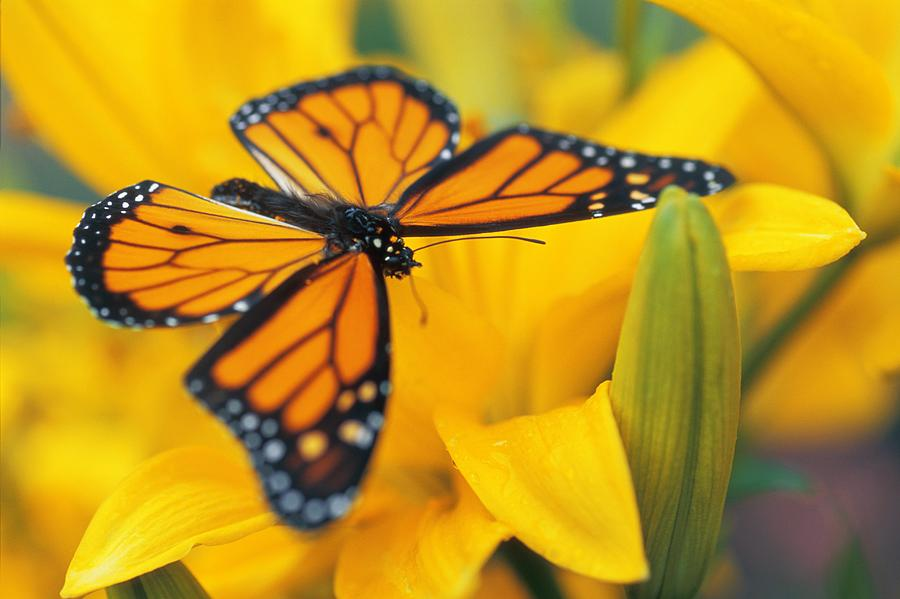 Monarch Butterfly On Flower Photograph By Don Hammond