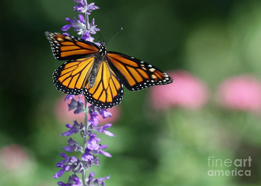 real-purple-butterflies