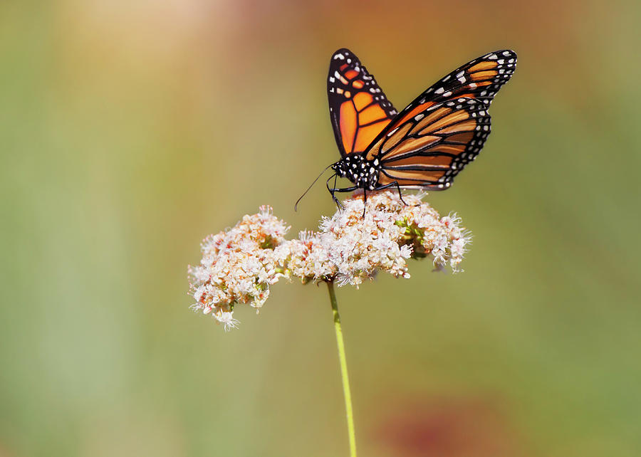 Monarch Butterfly Perched On Wildflower Photograph