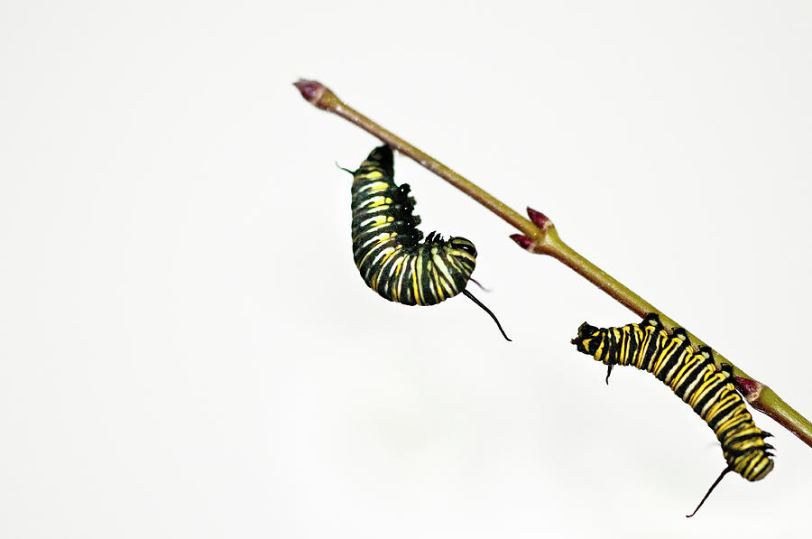 Monarch Caterpillar Photograph  - Monarch Caterpillar Fine Art Print