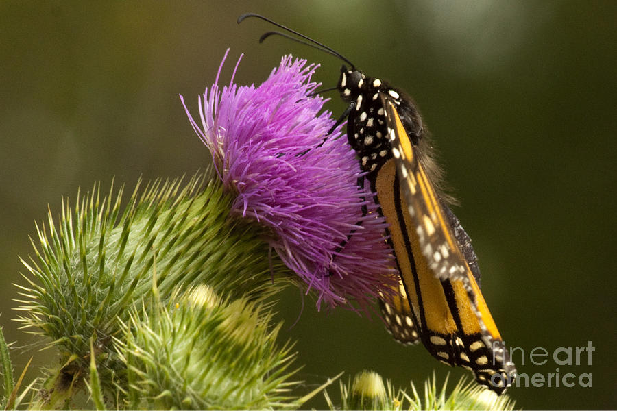 Monarch Photograph - Monarch Thistle Munching by Darleen Stry