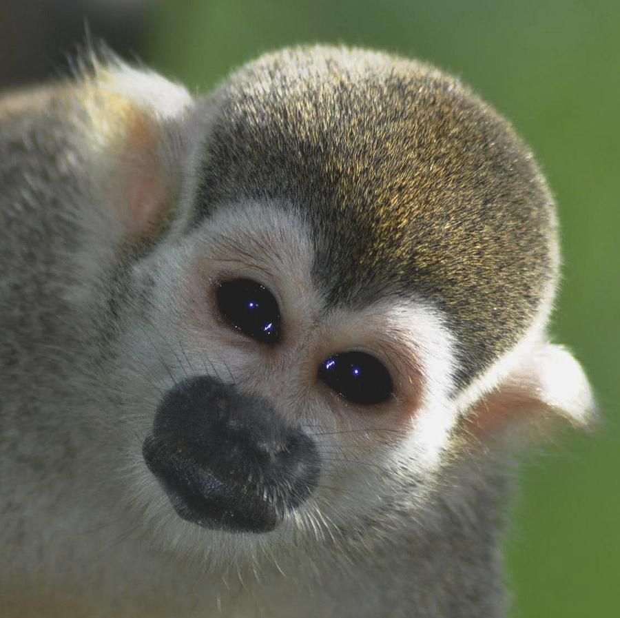 Monkey Face Photograph